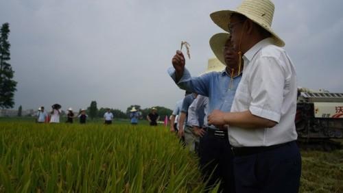 從無到有!又一水稻新品種來了